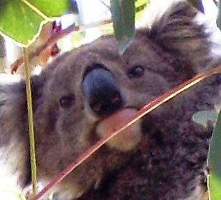 Koala Face 3-Mar-07