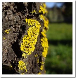 Ash Tree Lichen