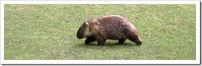 Australia_zoo_wombat_1