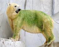 Japanese Green Polar Bear