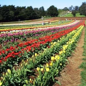 tulip field 2008