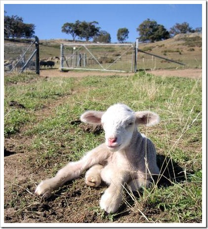 Strathbogie Lamb