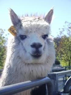 alpaca portrait.JPG